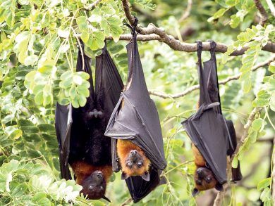 Photo of الخفافيش تعيش بفيروسات قاتلة وفضلاتها مهمة للطبيعة والإنسان
