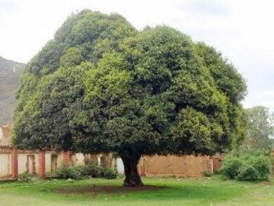 Photo of كيف أنقذت شجرة ملايين البشر من الموت؟