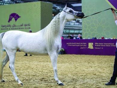 Photo of انطلاق بطولة قطر المحلية الـ 23 لجمال الخيل العربية الأصيلة غدا